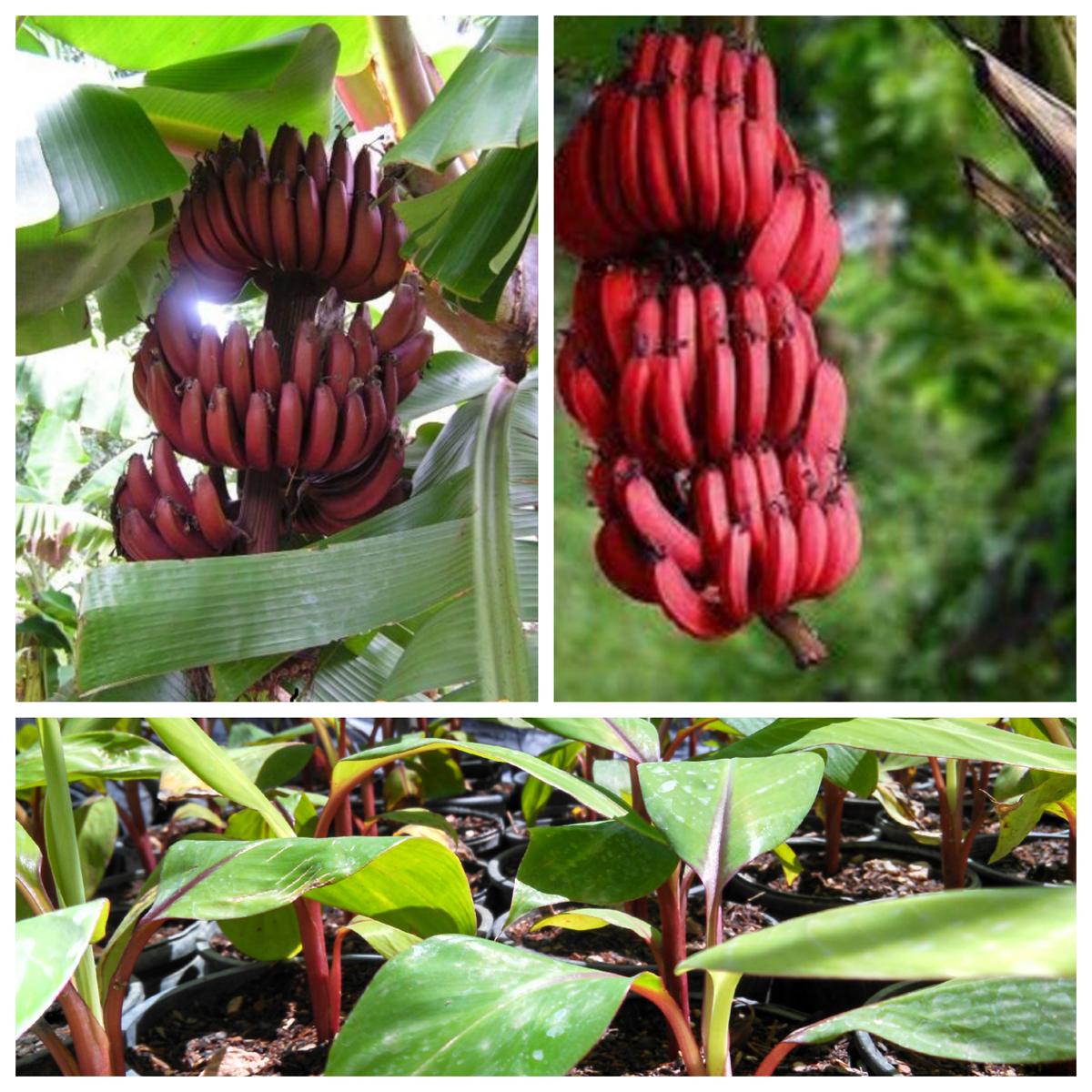 cây giống chuối đỏ dacca